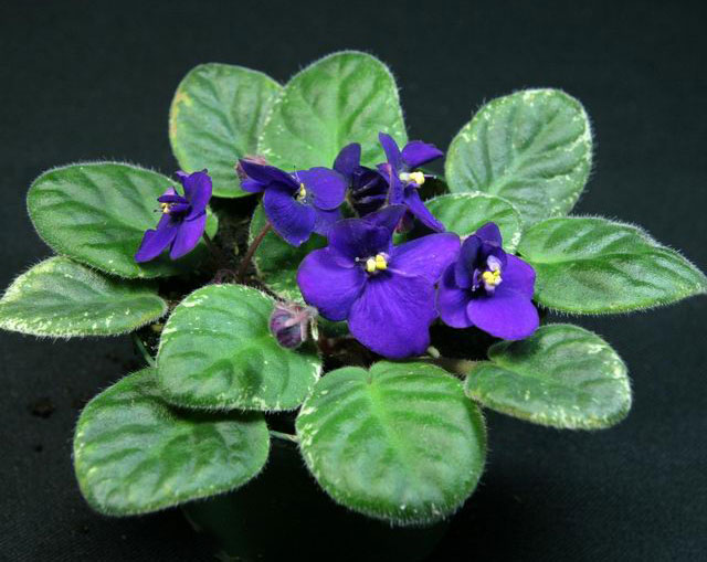 African Violets 4 Inch