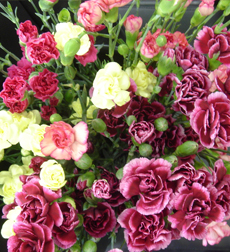 Carnations Miniature (10 Stems)