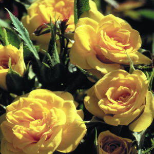 Roses Miniature (10 Stems)